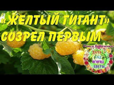 """Сорт малины """"Желтый гигант"""" созрел первым"""