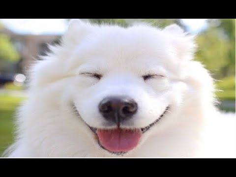 90 Seconds of Happy and Fluffy Samoyed Dogs - Cute Samoyed Dogs and Puppies Compilation