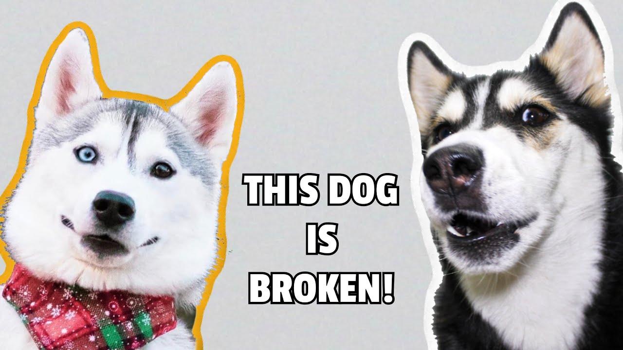 Talking Husky Reacts To SKAYA SIBERIAN!