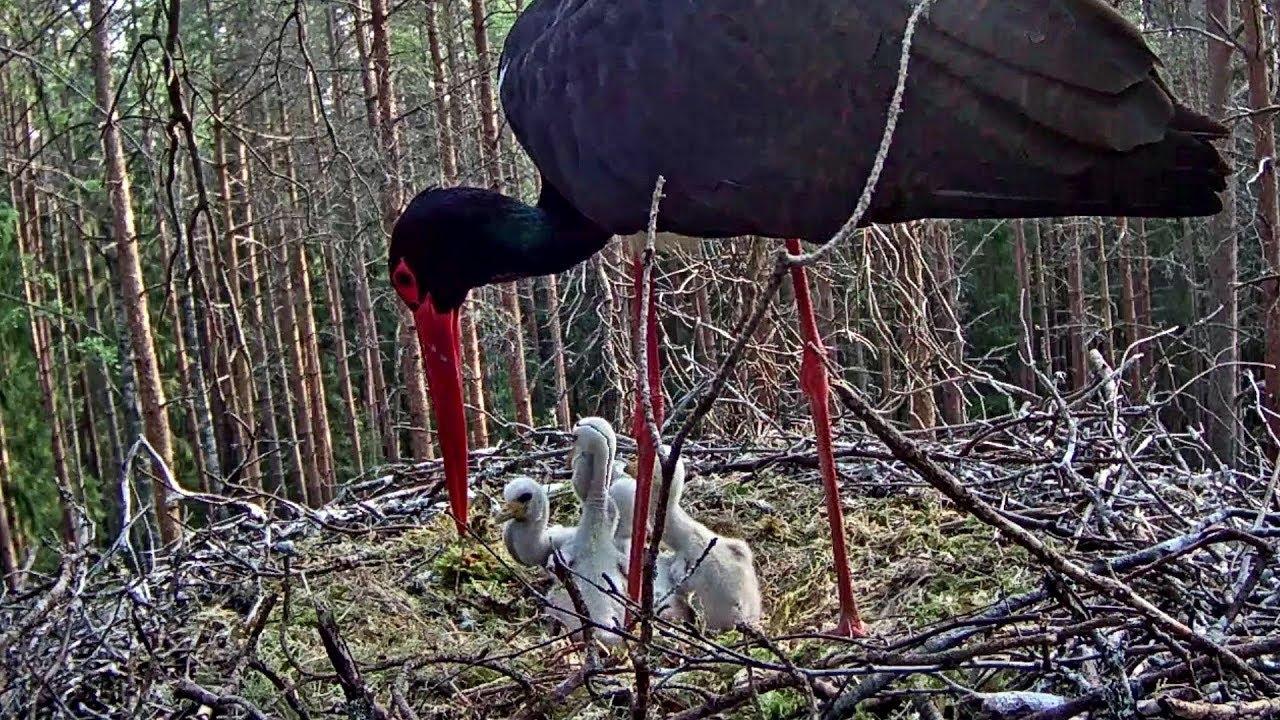 d56409a7662 Black stork camera news | Looduskalender