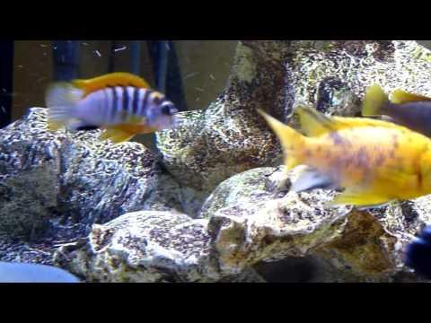 Labidochromis Hongi Sweden HD