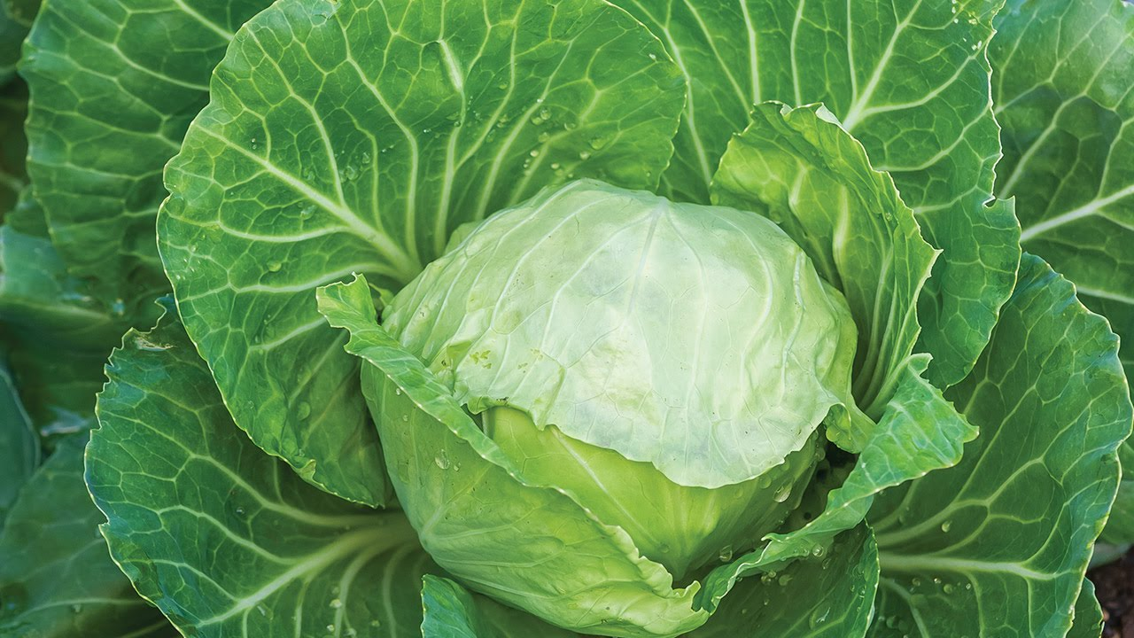 Growing Cabbage Youtube