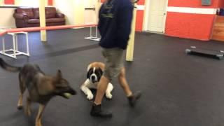 Off Leash Training And Impulse Control