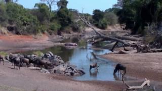 coccodrillo attacca gnu