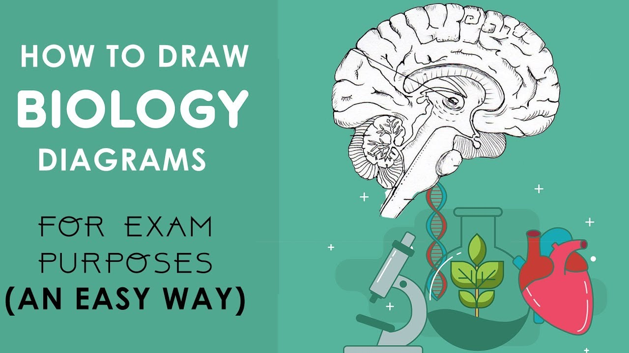 How To Draw Biology Diagrams In An Easy Way Class 10 To Class 12