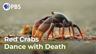 Swarm of Crab Mothers Cross Traffic to Lay Thousands of Eggs