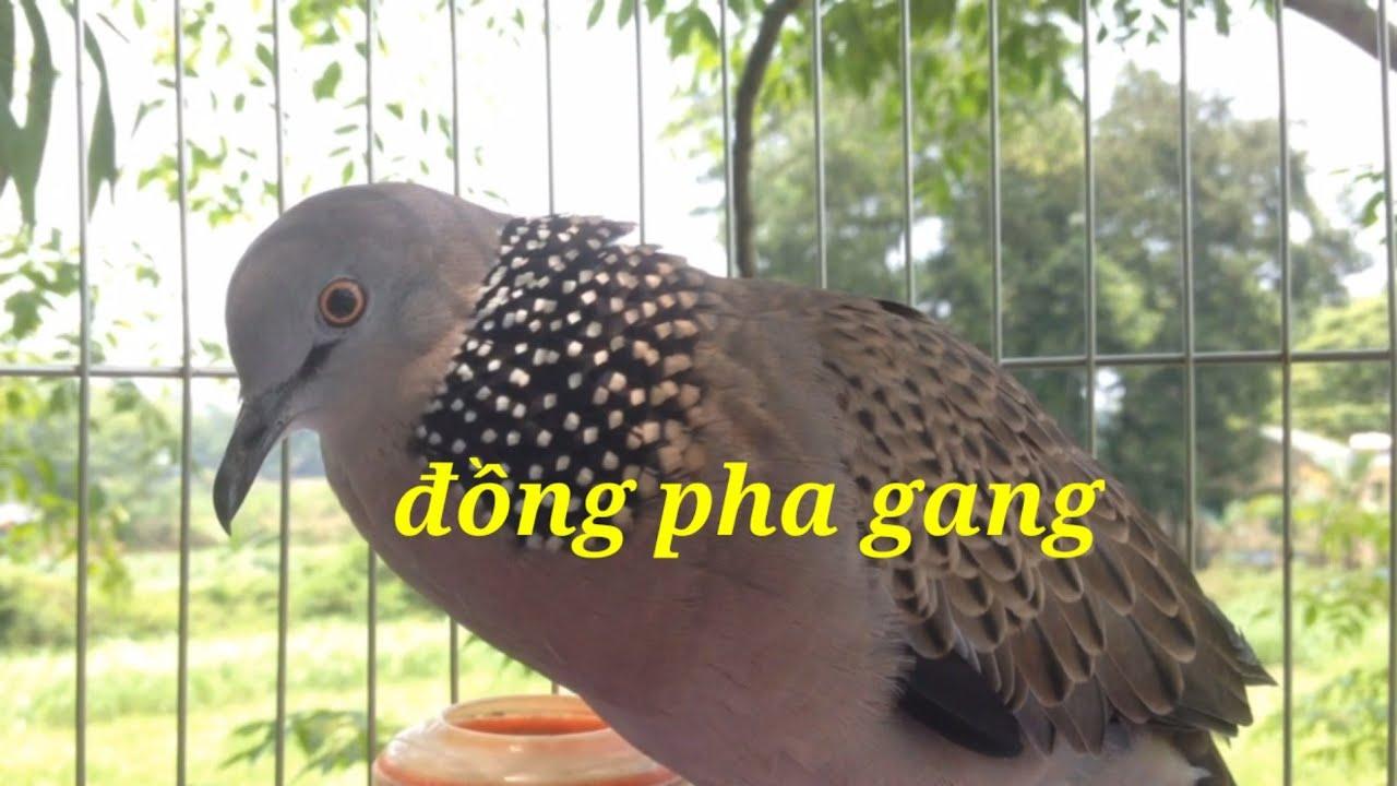 Tiếng chim cu gáy gọi cực chuẩn , dùng luyện giọng chim cu gáy mỗi ngày