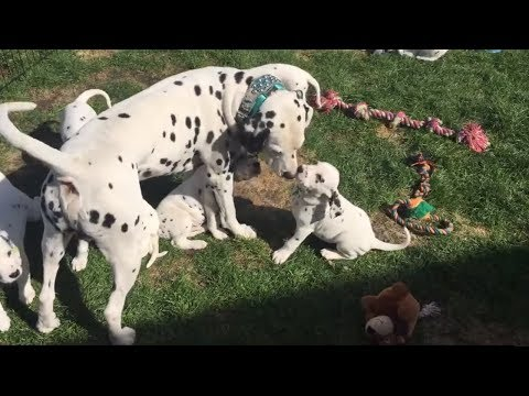 Dalmatian proudly jumps into puppy pen to bond with his kids