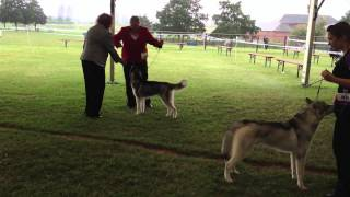 The Paignton Championship Dog Show 2013 - Siberian Huskies Part 1