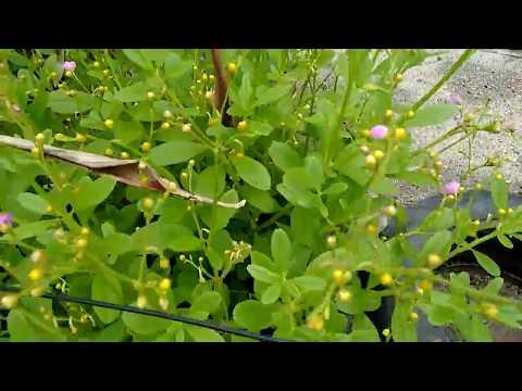 Uma plantação de joão gomes-planta comestível...