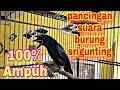Srigunting Gacor Kicau Burung Srigunting Cocok Untung Masteran Burung Muda  Mp3 - Mp4 Download