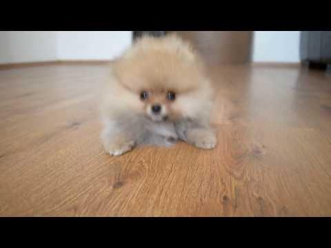 FOR SALE BOY! Pomeranian puppy