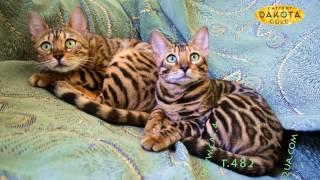 Будни питомника бенгальской кошки Dakota Gold   две бенгальские кошки на кресле   наблюдаем