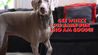 Weimaraner Destroys Bark Box