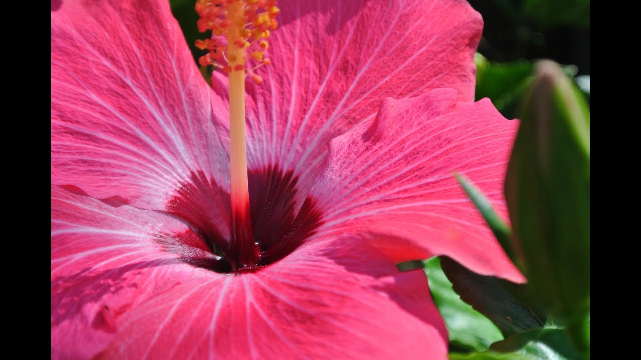 Zone 9b Fl Tropical Hibiscus Tree Pictures N Videos Youtube