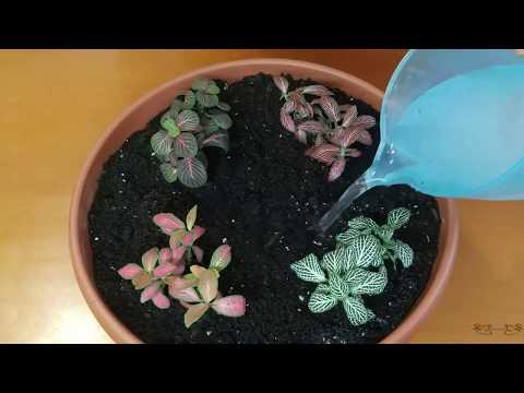 Фиттония - цветок для Водолеев. Капризным его не считаю! Уход за фиттонией в домашних условиях прост