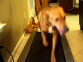 My Dog Running on Treadmill at top speed of 10 MPH