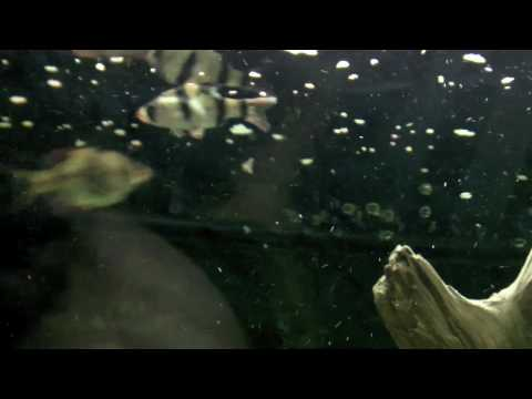 Sony Webbie HD Test- Tiger Barb Fish Tank