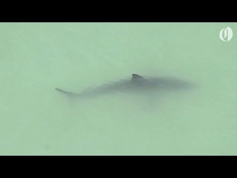 Great white sharks spotted off Southern California coast