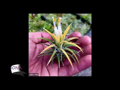 Air Plants Varieties with Names / Plantify