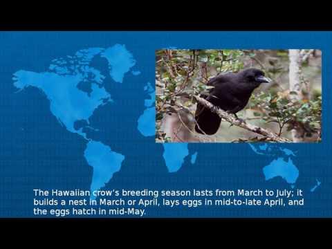 Wikipedia -  Hawaiian Crow