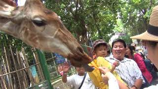 LẦN ĐẦU ĐI ĐẦM SEN   Cho Hươu cao cổ ăn cà rốt ở Đầm Sen   Let the giraffe eat lunch   Tập 10