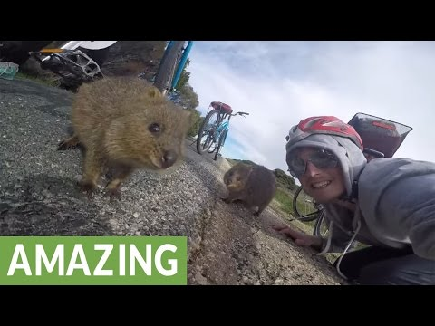 Australian island home to cute little quokkas