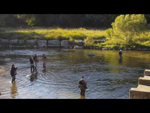 Salmon Run Credit River..Crazy Action Sept 27th 2016 Part 1