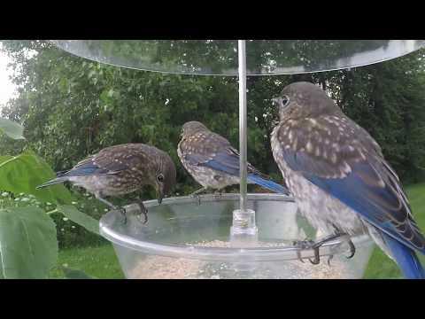 Bluebird Alarm Call
