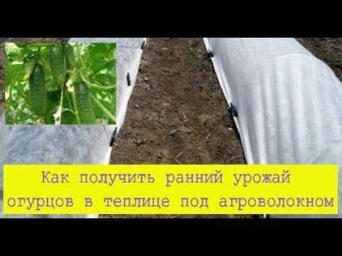 Вопрос: Как получить ранний урожай огурцов, при отсутствии теплицы?