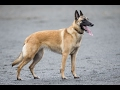 Harrisburg dog Tyka, a Belgian Malinois, is headed to the 2017 Westminster Kennel Club Dog Show