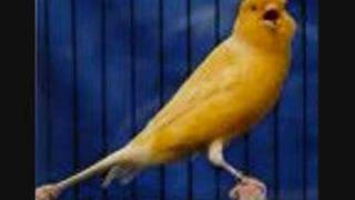 The canary song