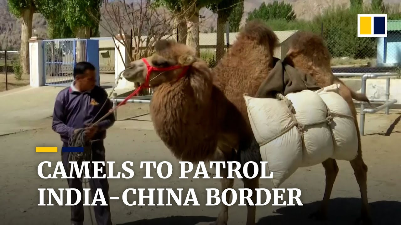 Indian army prepares camels for patrols along tense border with China
