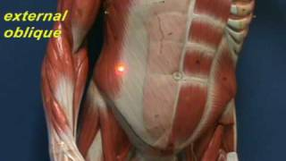 Little Man Model - Abdominal Muscles.avi