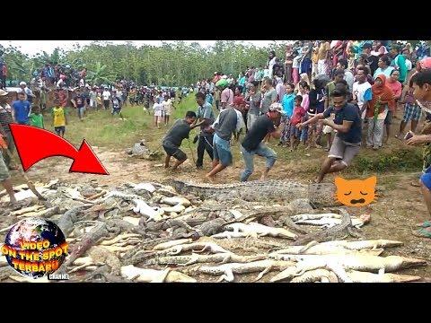 Warga Sorong Gempar Menyaksikan PemB4ntaian 292 Buaya, Ternyata Hal ini Penyebabnya...