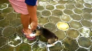 Dijual Anakan Beagle Jantan, Umur 2 Bulan, Surabaya. Vaksin, Stambun.