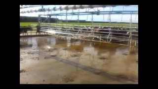 milking time on dairy farm in new zealand (1300 cow farm)