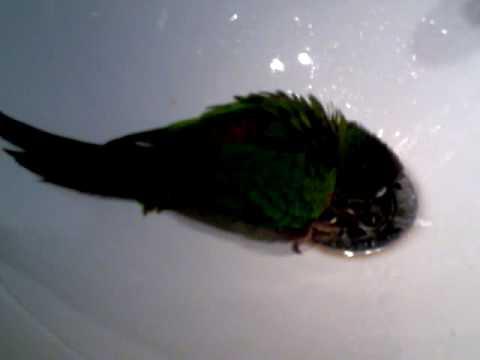 Pyrrhura Lola en su baño diario