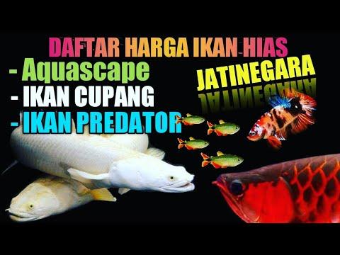 Harga Ikan Hias Murah Pasar Jatinegara Terbaru Youtube