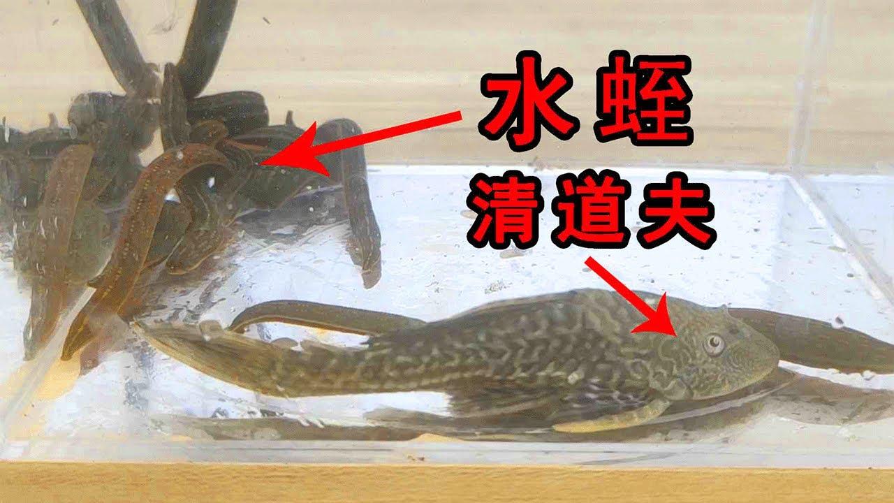 真的沒有天敵嗎?外來入侵魚類清道夫VS水蛭! 【歪點子實驗室】 - YouTube