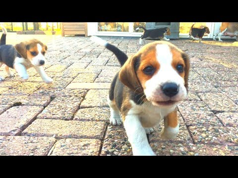 Cute Puppies Playing Outside With Mom for The First Time! 5 Weeks old!