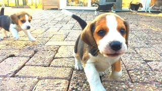5 Week Old Beagle Puppies Playing Outside For The First Time!