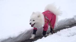 日本スピッツの一歩さん(♀:3才) 完全防備してても、雪玉が付いてし...