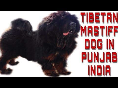 Tibetan mastiff dog(sheru) playing mode