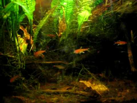 Rasbora Vaterifloris (Flame Rasbora) shows color | Doovi