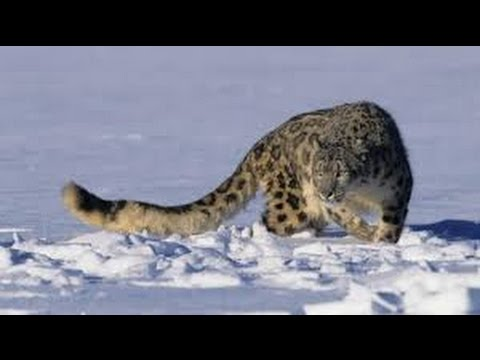 Snow Leopard I Wildlife Documentary I Animal Planet I National Geographic Documentaries