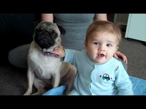Baby And Pug Dance to Adele
