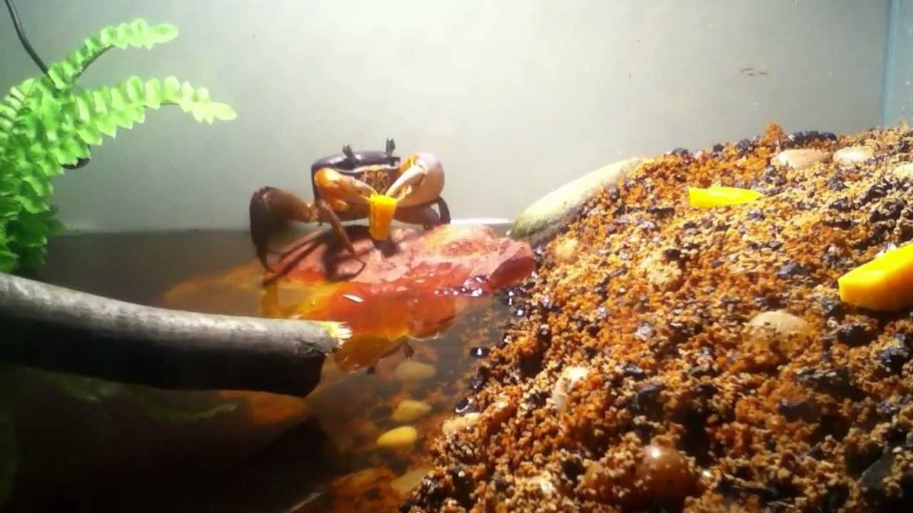 moon crab munchin' on cheese - youtube