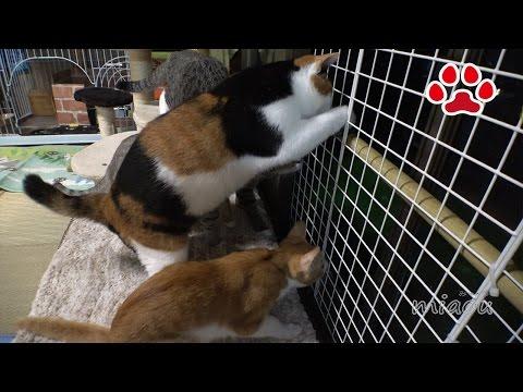 猫部屋に珍客が訪れてきた。猫達興奮して鳴きまくる【瀬戸の猫部屋日記】A rare visitor to the cat room
