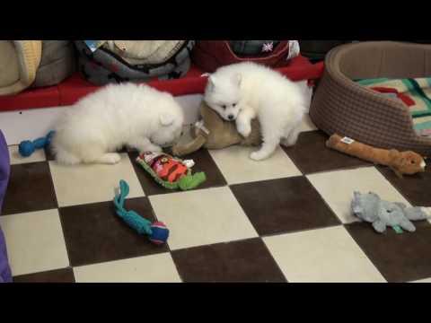 Little Rascals Uk breeders New litter of Samoyeds
